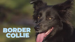 Border Collie  Working and Herding Dog Breed
