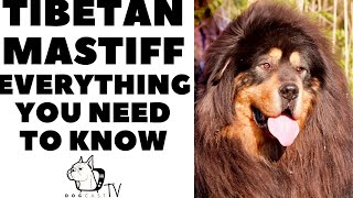 The TIBETAN MASTIFF!  Everything you need to know!  DogCastTV!