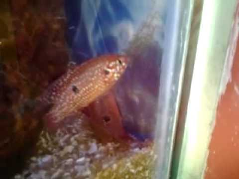 Jewel fish laying eggs