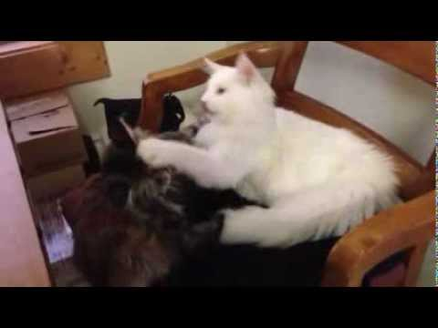 White maine coon and Tortie maine coon play fighting