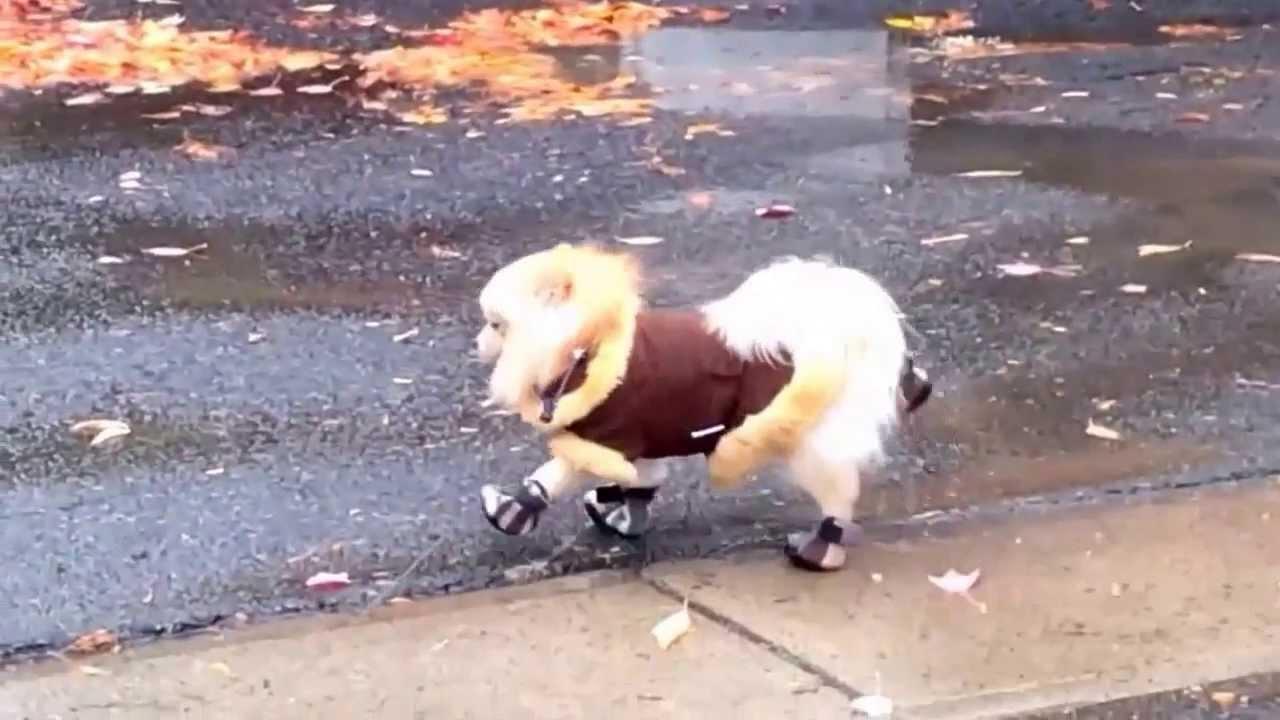 Pomeranian In Boots Youtube