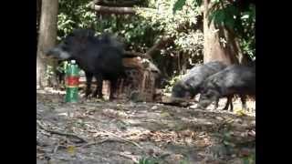 Porco do mato em acampamento Teles Pires MT