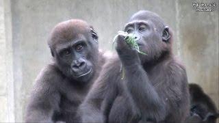 キヨマサ(オス)とアニー(メス)が遊んでいます。体が小さいほうがア...