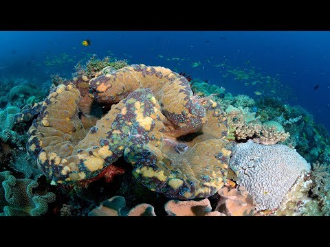 Download Youtube: The fascinating secret lives of giant clams   Mei Lin Neo