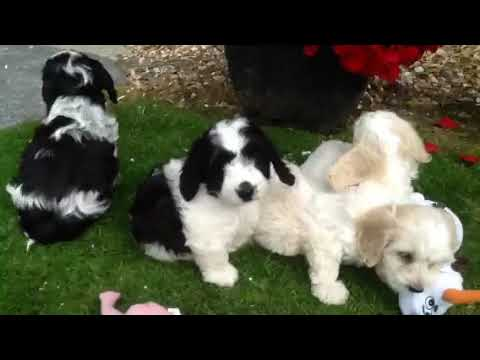 Bichon frise X cocker spaniel puppies at Castellan House Kennels