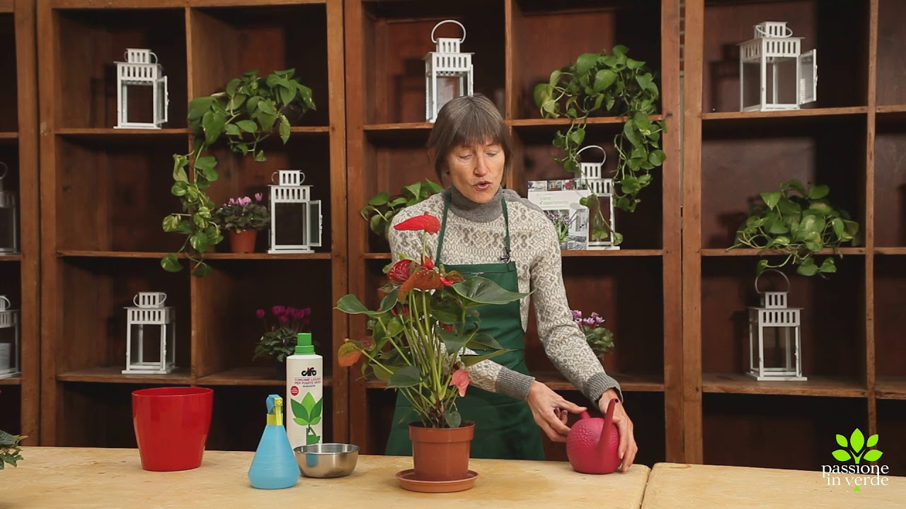 Anthurium Cura Della Pianta cura delle piante da appartamento: anthurium