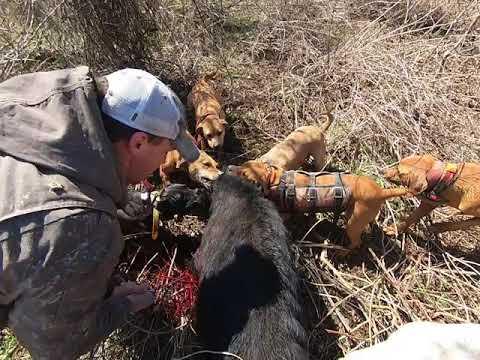 March 6 2021 hog hunt part 2 monster hog