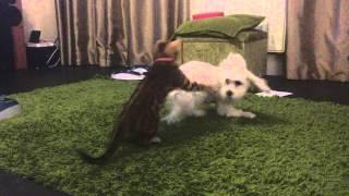 Maltese Willow Annoying Bengal Kitten Phoenix