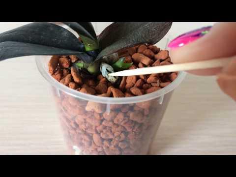 Реанимация орхидей. Что делать когда корешки подросли? Пересадка в серамис.