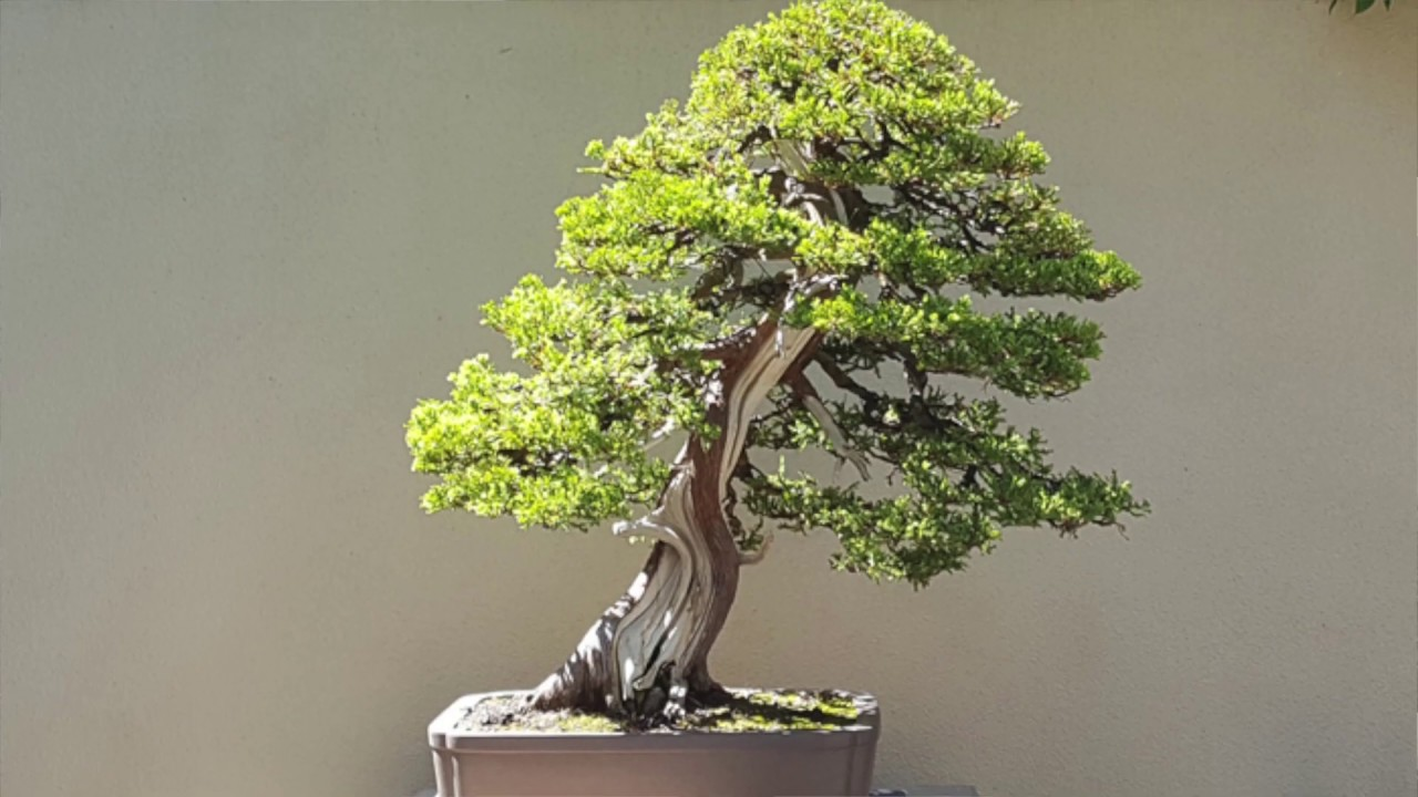 A Gallery Of Trees Living Art Of Pacific Bonsai Museum Youtube