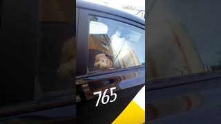 Такси собаки