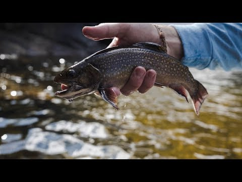 NATIVE BROOK TROUT FISHING In Bear Country