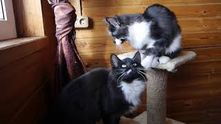 Норвежские лесные котята Зоя, Зевс, Энни и Ильва, fashionpeak.ru