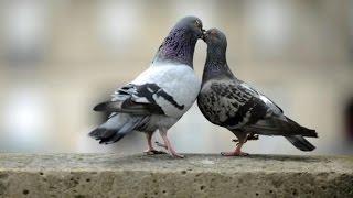 Голуби- Птенцы голубей - Любовь голубей - Голубиная сага