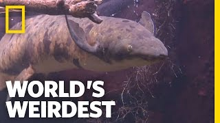 Underground Survivalist Fish | World's Weirdest