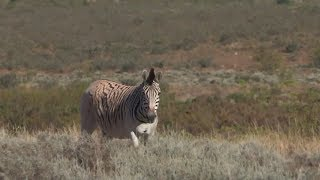 Quagga - back from the dead?