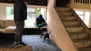 "Staffordshire Bull Terrier Personal Protection "" Home Invasion"""
