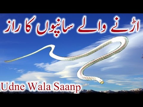 Urnay Wale Saanp Ka Raaz Flying Snake Urdu Hindi Udne Wala Saanp