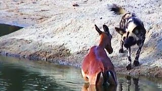 Wild Dogs Hunt & Kill Pregnant Impala | Graphic
