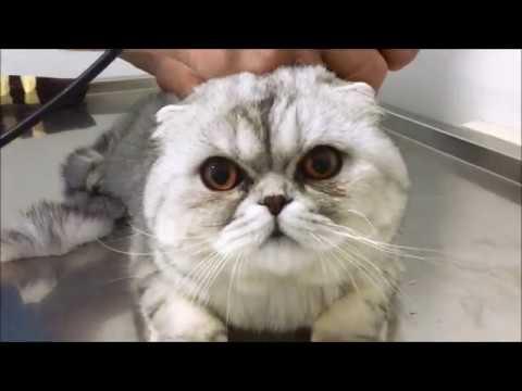uyutmadan kedi traşı anestezisiz scottish fold