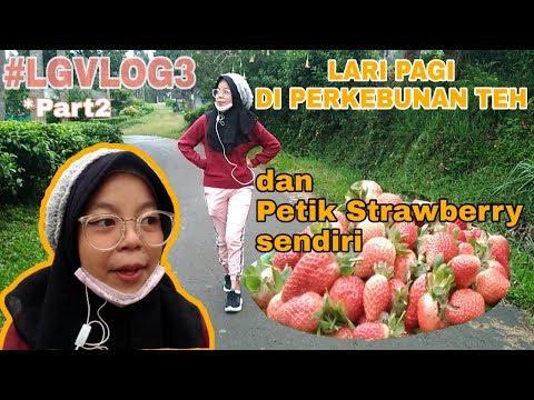 lari-pagi-di-perkebunan-teh-dan-petik-strawberry-sendiri---#lgvlog3-(part-2)