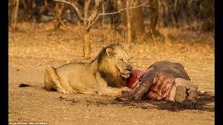 Sư tử vào nhà, clip kinh dị cân nhắc khi xem.