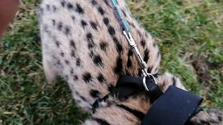 Legolas The Serval Cat, first time outdoors, playing, having fun, loving us 🐆 #2