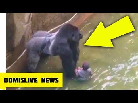 KILLING HARAMBE, Gorilla Shot & Killed After Boy Falls Into Zoo Enclosure NEW