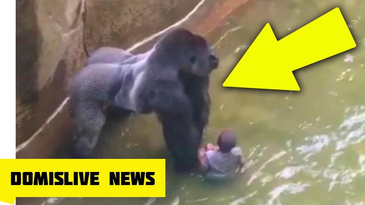 killing harambe gorilla shot killed after boy falls into zoo