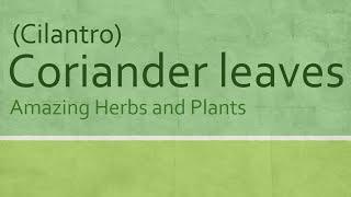 Coriander leaves Health Benefits - health Benefits of Cilantro - Amazing Herbs and Plants