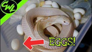 cobra-eggs