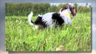 Toy & Parti Morkie/maltese Cross Puppies | Hank-maggie-hunter-jasmine