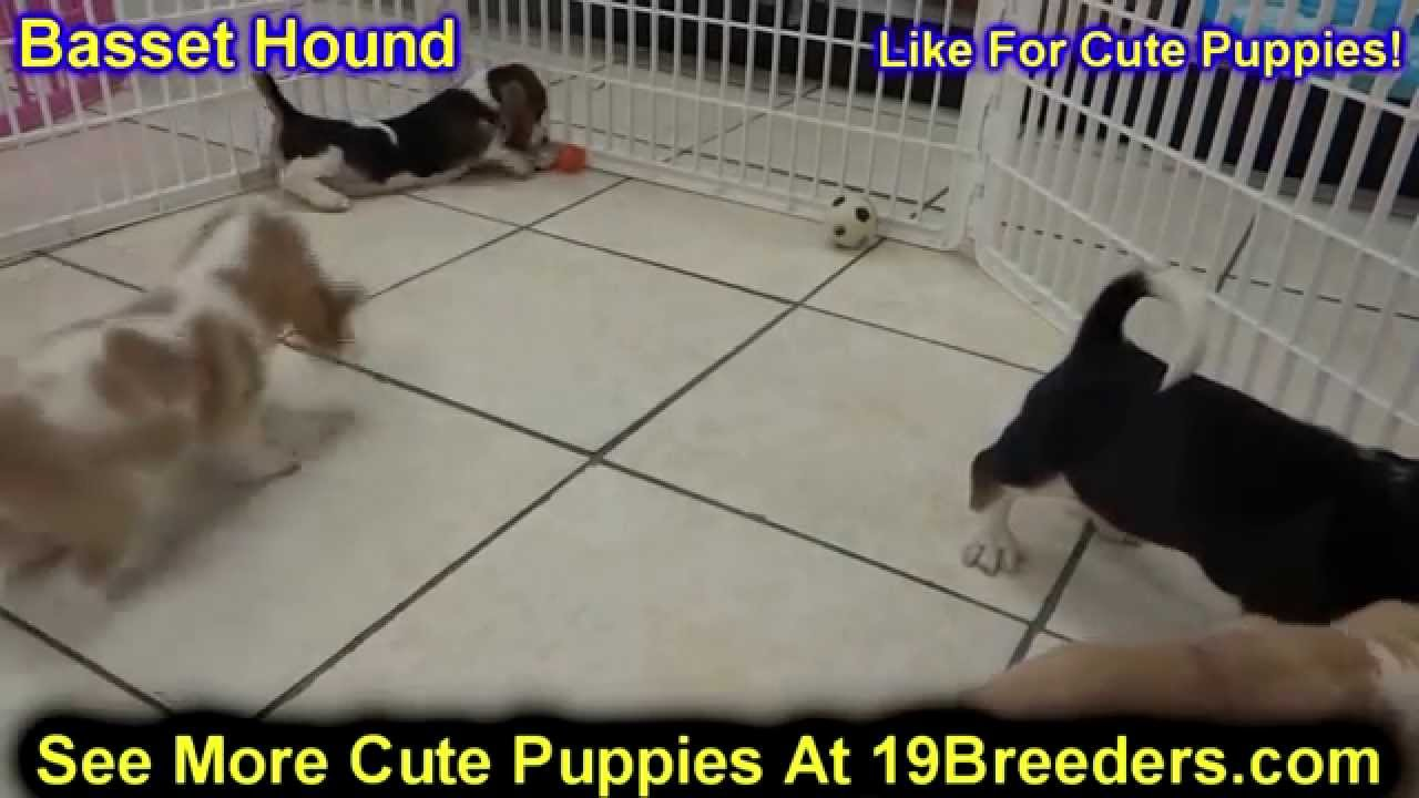 Basset Hound Puppies Dogs For Sale In Jacksonville Florida Fl