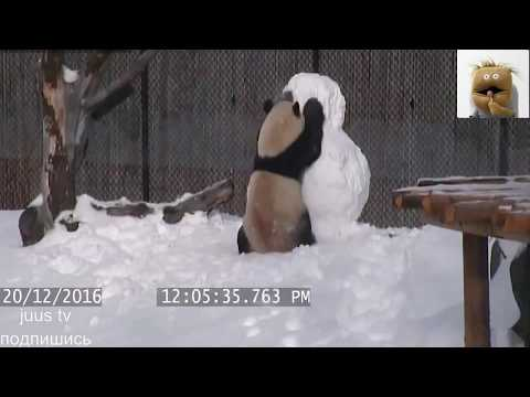 Детеныш панды хочет сбежать с манежа - Видео