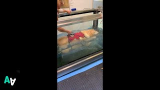 Guide Dog Goes on Underwater Treadmill