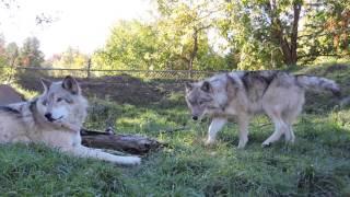 Wolves Zoo Ecomuseum 2016 Sainte Anne de Bellevue Loups