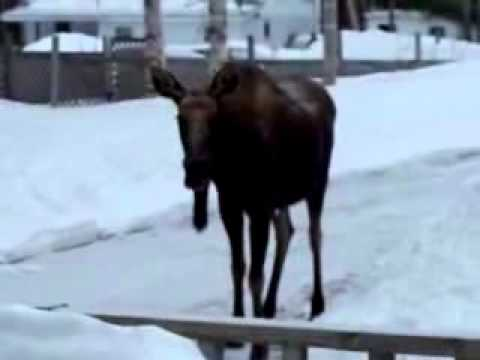 Moose falls on face, Cape Breton