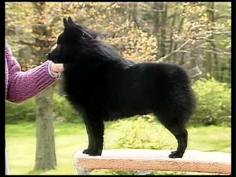 Schipperke - AKC Dog Breed Series