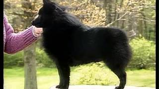 Schipperke  AKC Dog Breed Series