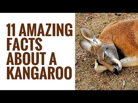 Interesting Kangaroo Facts | 11 Facts About Kangaroos