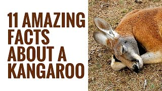 Interesting Kangaroo Facts | 11 Facts About Kangaroos