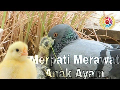 Apa Jadinya Kalau Anak Ayam Di Asuh Burung Merpati?