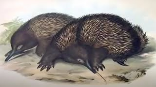 Exhibitionist spiny anteater reveals bizarre penis