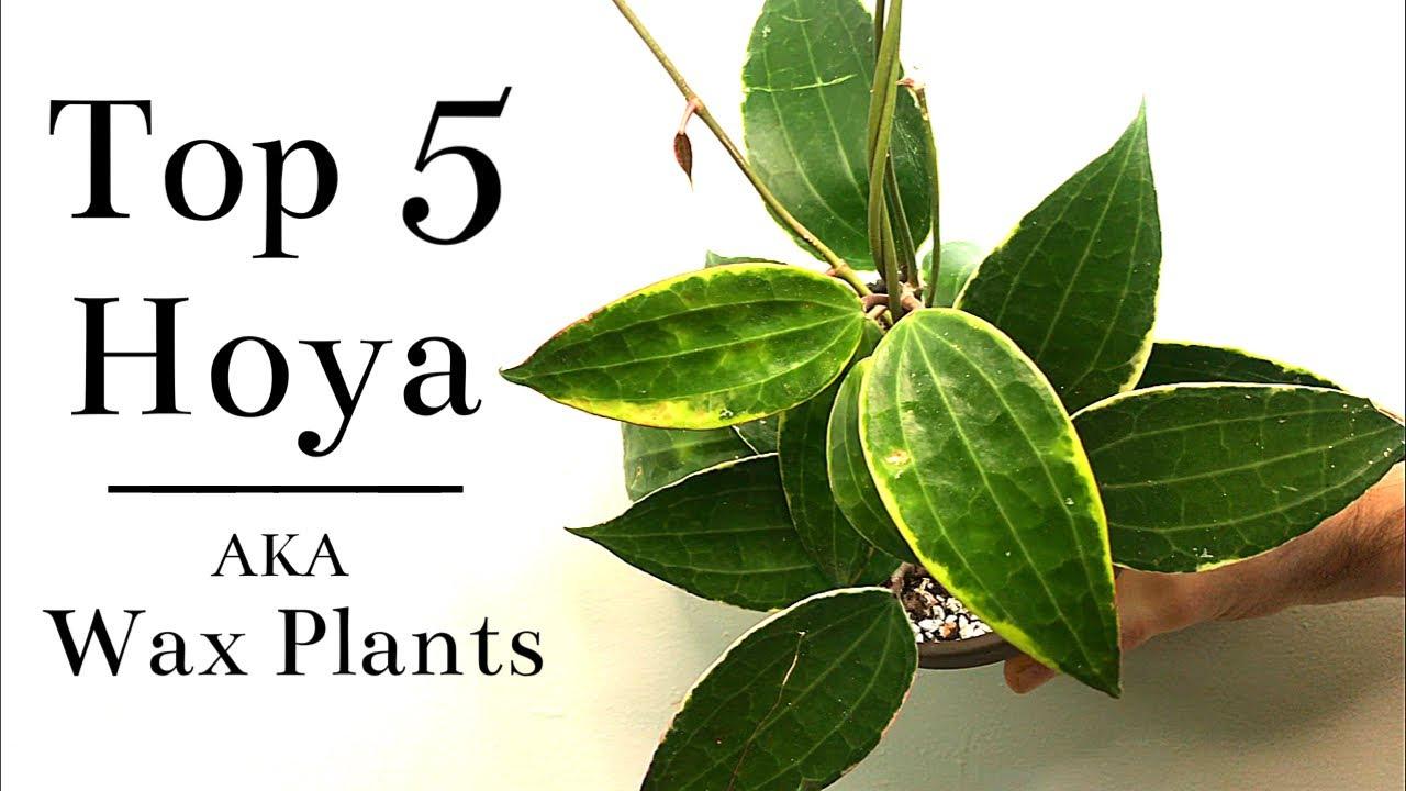 Download Top 5 Hoya (Wax Plants)