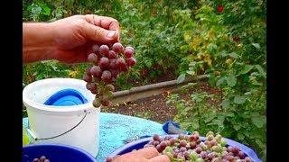 как сделать домашнее вино из винограда лидия