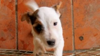 30 Seconds of Ridiculous Jack Russell Puppies