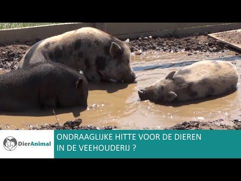 DierAnimal: Ondraaglijke hitte voor de dieren in de veehouderij?