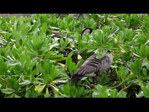Nene Hawaiian Goose