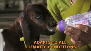 Nimbkar Boer Goat Farm : Promo