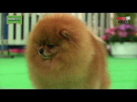 WELKS Championship Dog Show 2017 - Toy group - Shortlist